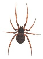 CommonSpider