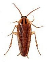 GermanRoach