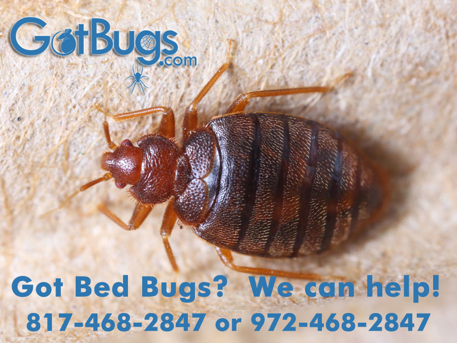 got-bedbugs